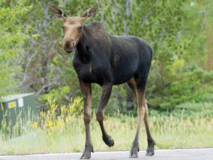 Moose at Steamboat Lodging Properties.