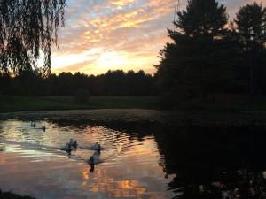Ducks at Baumann's Brookside Summer Resort.