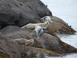 Seals resting on rocks at Smuggler's Villa Resort.