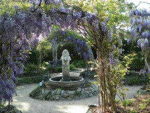 Wisteria in the Rose Garden at Cambria Pines Lodge.