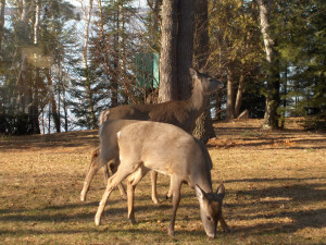 Deer at Northridge Inn & Resort.