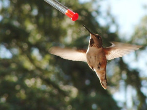 Hummingbird at Cheechako Cabins.