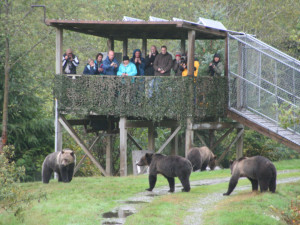 Viewing grizzlies at Grizzly Bear Lodge & Safari.