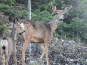 Deer at Tyee Lake Lodge.
