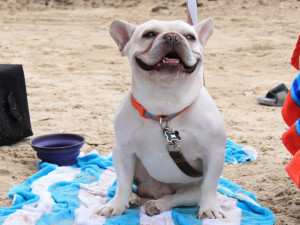 French bulldog on the beach at Padre Getaways.