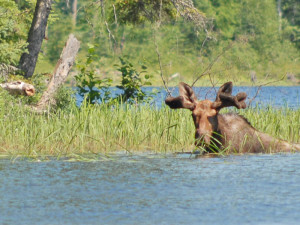 Moose sighted at Moose Track Adventures Resort.