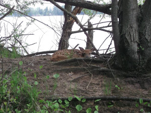 Fawn napping at Crimson Hue Resort.