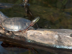 Turtles at Popp's Resort.