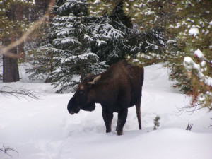 Moose at SkyRun Vacation Rentals - Breckenridge, Colorado.