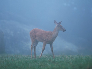 Deer at Jefferson Landing.