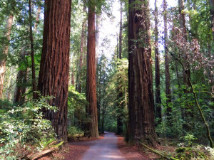 Redwood forest near Applewood Inn, Restaurant and Spa.