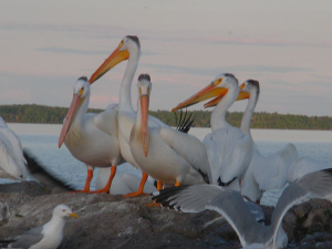Pelicans at Angle Inn Lodge.