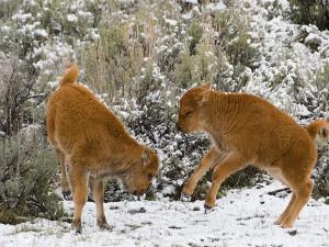 Buffalo calves playing in Yellowstone National Park.