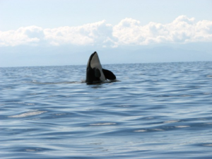 Killer whale at Sooke Harbour Resort & Marina.