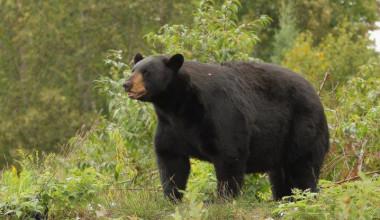 Black bear at Olive the Lake.