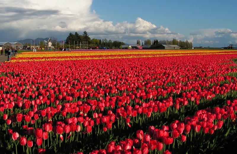 Tulips near La Conner Channel Lodge.