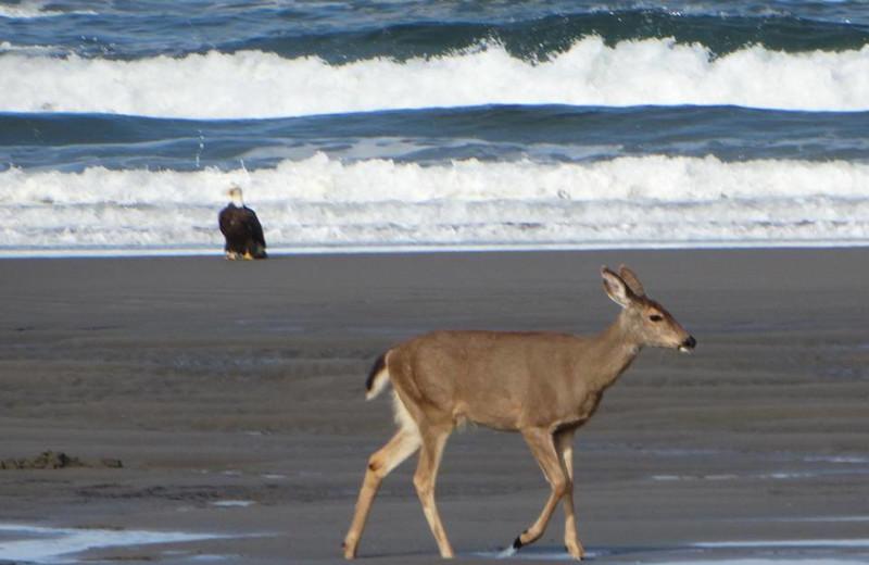 Wildlife on beach at Oceanfront Getaways.