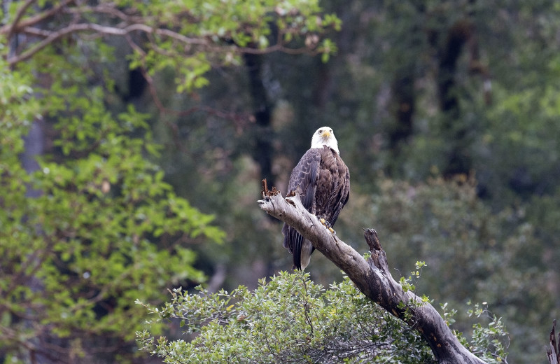 Eagle at Marble Mountain Guest Ranch.