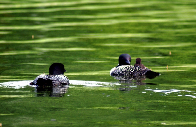 Loons at Northern Lights Resort.