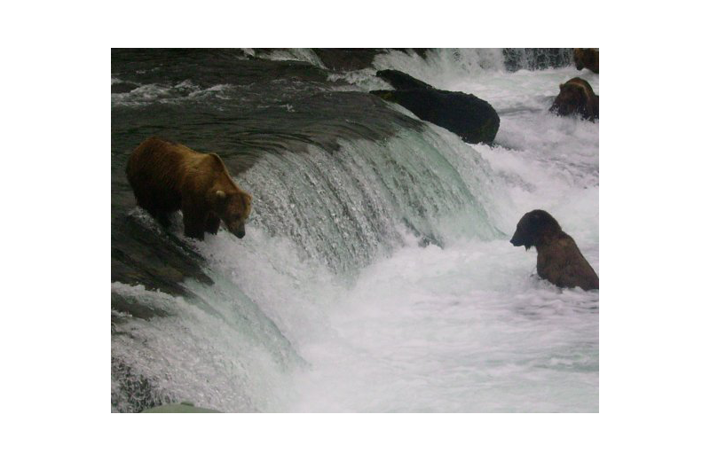 Bears at Naknek River Camp.