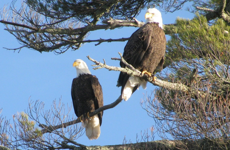 Eagles at Pine Beach Resort-Side Lake.
