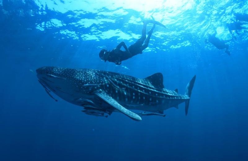 Whale shark at Utila Lodge.