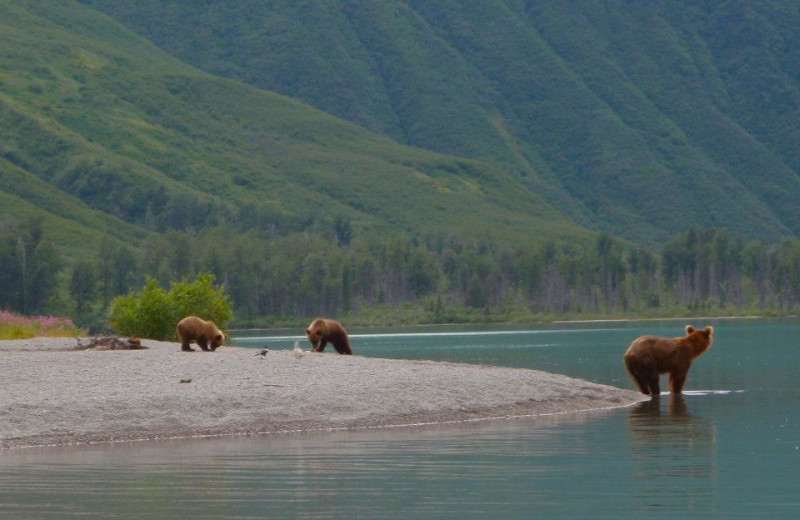 Brown bear at Fishing at All Alaska Outdoor Lodge.