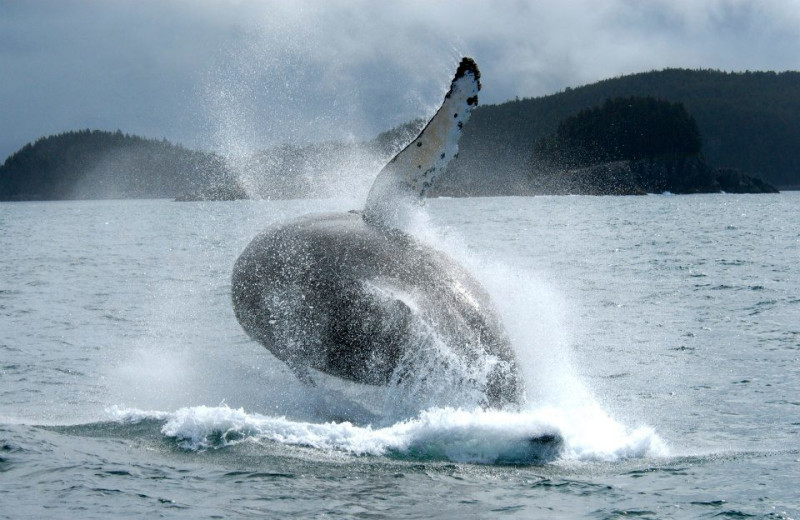 Humpback whale at Elfin Cove Resort.