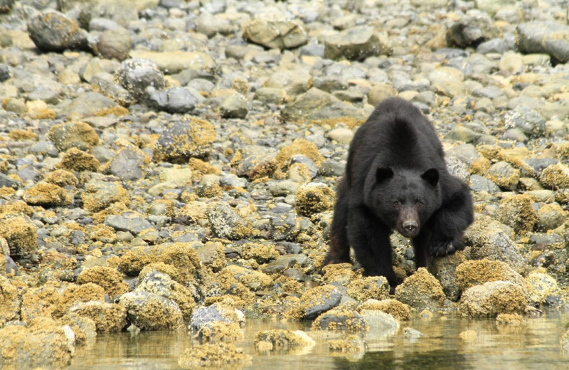 Black bear at Clayoquot Wilderness Resort.