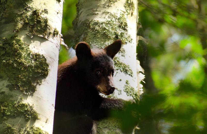 Black bear at Rising Eagle Resort.