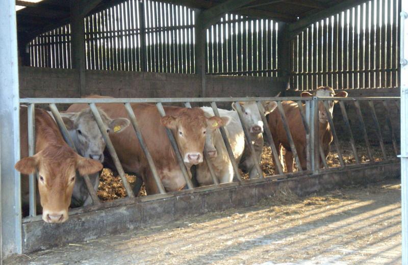 Cows at Trenona Farm.