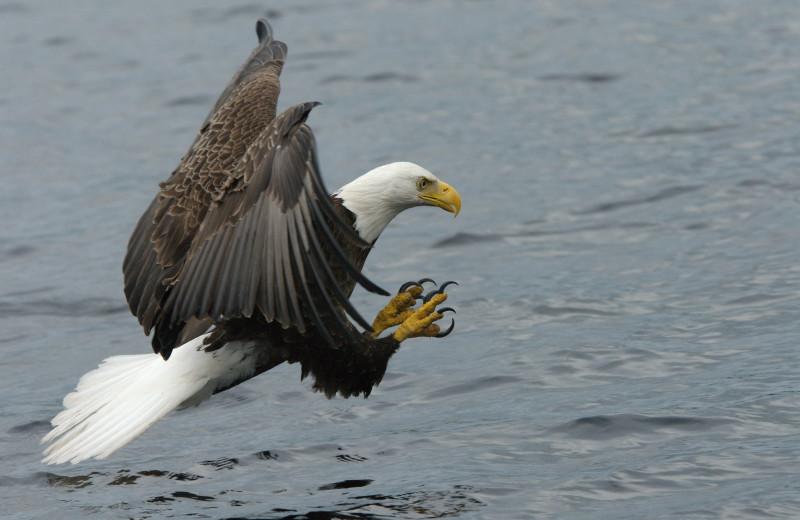 Bald Eagle at New England Outdoor Center.