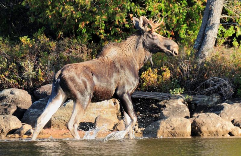 Moose at Elk Lake Lodge.