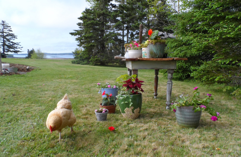 Chickens at Rossport Lodging & Retreat.