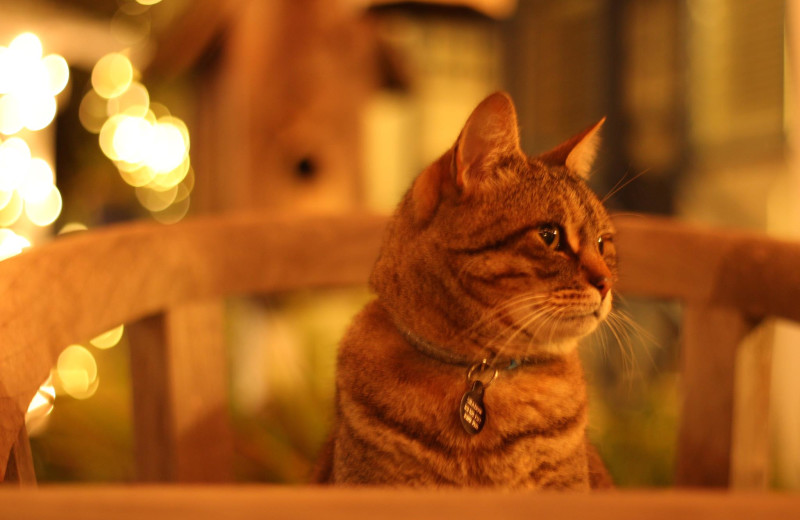 Inn cat at Lamp Lighter Inn & Sunset House Suites.
