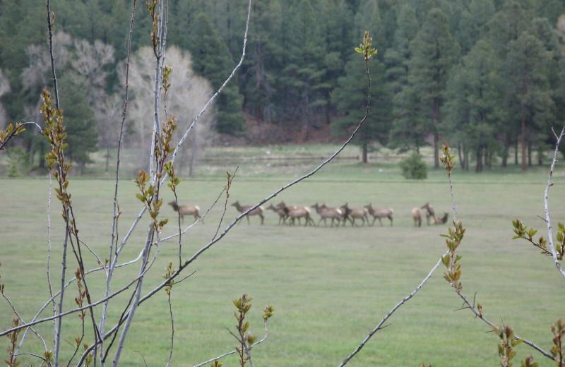 Elk heard at Pine River Lodge.