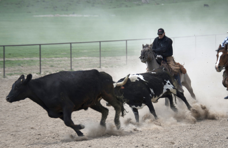 Rounding up cattle at Colorado Cattle Company Ranch.