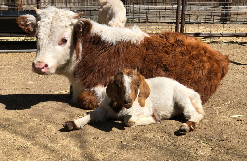 Farm animals at Rankin Ranch.