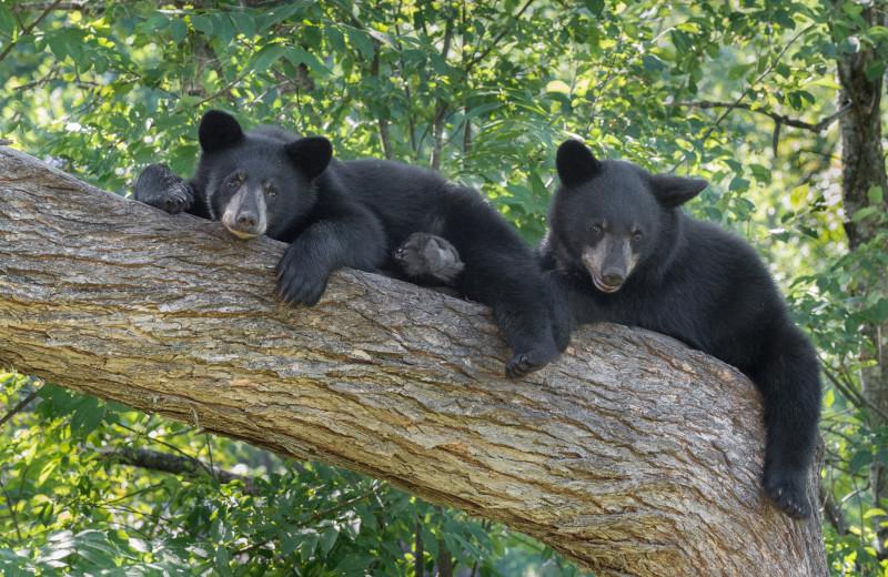 Vince Shute Bear Sanctuary near Birch Grove Resort.