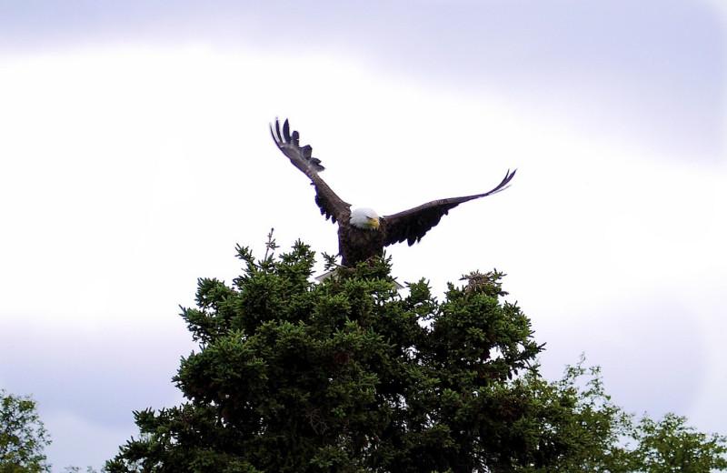 Eagle at Alaska Rainbow Lodge.