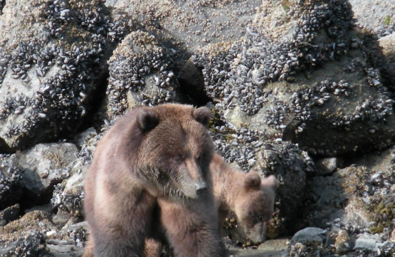Grizzly bear at Elfin Cove Resort.