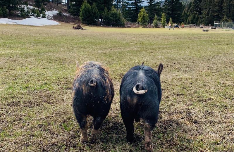 Pigs at Hardscrabble Ranch.
