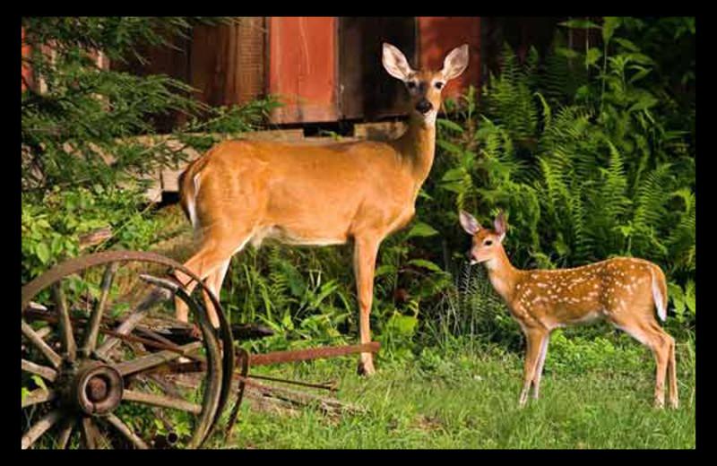 Deer at Hummingbird Hill Cabin Rentals.