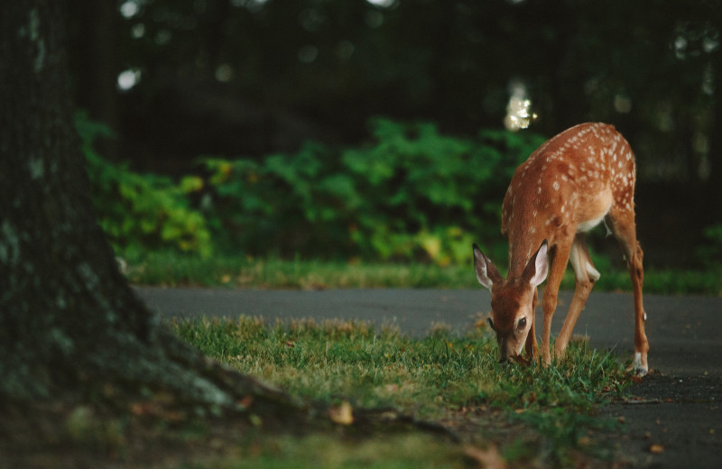 Deer at Wilderness Resort Villas.