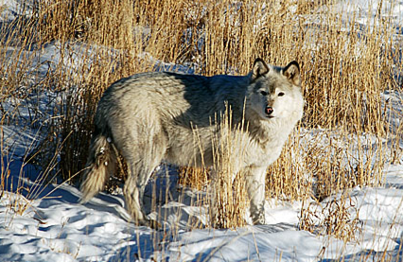 The Wolf Sanctuary at Howlers Inn Bed and Breakfast