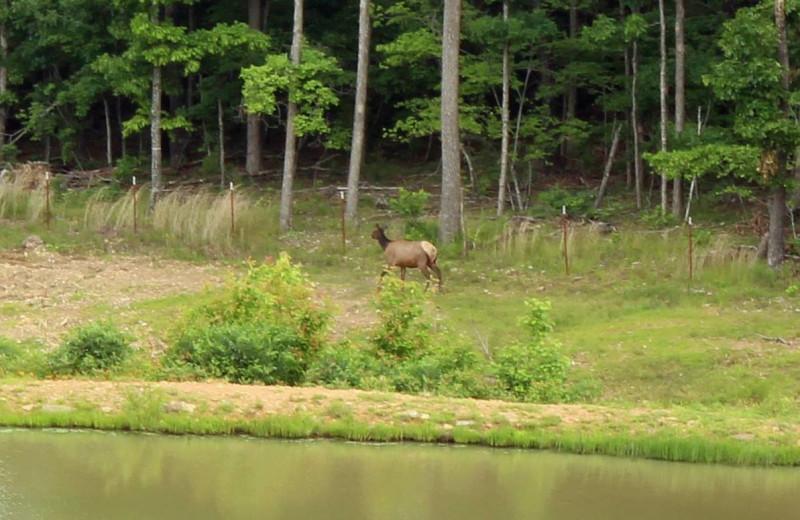 Elk at Saddleback Lodge.