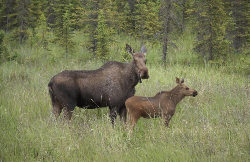 Moose at Gwin's Lodge & Kenai Peninsula Charter Booking Service.
