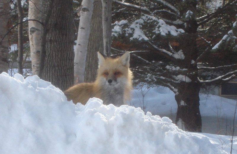 Fox in the snow at Cascade Lodge.