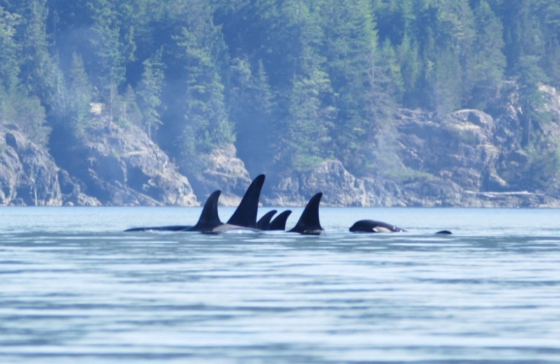 Whales at Orca Camp.