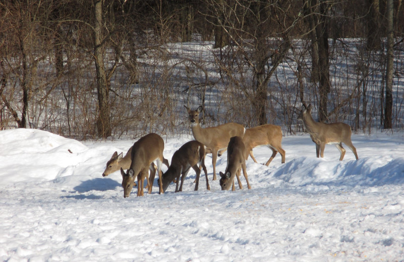 Deer at Spring Valley Golf and Lodge.